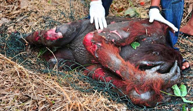 Картинки по запросу palm oil orangutans